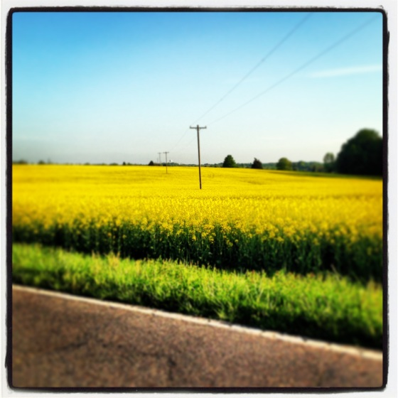 Fields of Canola